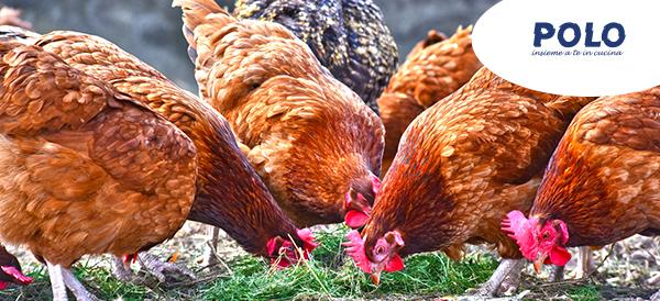 pollo-ruspante-alta-qualita-ristorazione