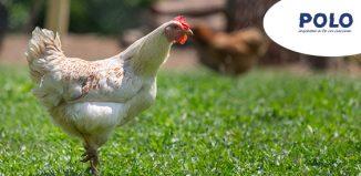 pollo-ruspante-vegetariano-alta-qualita-ristorazione